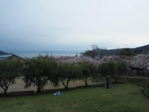 桜とオリーブ