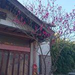 玄関の紅梅が咲きました