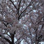 春の竹ご飯弁当でお花見!